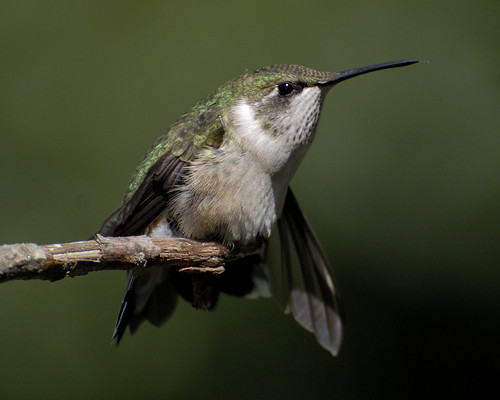 Ruby-throated Hummingbird_20070916_011