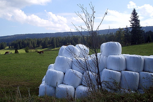 Bales of hay rolled up into white plastic