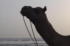 DANCING SHADOW 3 (fullmoonshadow) Tags: world park pakistan sunset horse fish black beach me dark myself dead seaside eyes sand structure fullmoon camel pollution karachi cameltoe clifton sindh oldbuilding seaview hammad parktower parktowers ibneqasim silheute parkibneqasim
