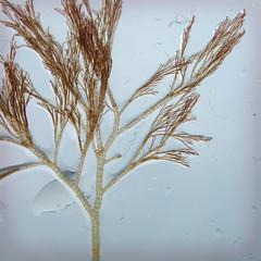 Polysiphonia...Neosiphonia? (the kelp knot) Tags: ocean seaweed coast marine connecticut atlantic estuary algae longislandsound groton marinelife redalgae averypoint rhodophyta marineflora polysiphonia neosiphonia estuaryofnationalsignificance courtnayjaniak