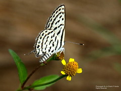 A Butterfly n A Flower Explore # 485 (Ar.Shakti Nanda) Tags: light flower macro nature yellow dof close artistic olympus jena sharp architect photograph nanda 510 orissa soe shakti bhubaneswar buttrefly naturesfinest abigfave shaktinanda paradeep trilokya kandarpur jagatsingpur