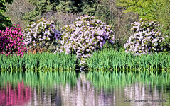 Reflections On May (Gary Grossman) Tags: flowers iris lake color reflection water reeds landscape pond blossoms may verdant rhododendrons aprilshowers mayflowers virbrant