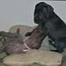 Puppies 4 1/2 weeks