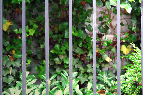 iron fence and ivy