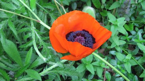First oriental poppy