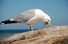 Seagull 4