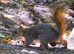 squirrel nuts (Malingering) Tags: squirrel nuts testicles
