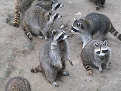 Such lovely faces :) (Sibi) Tags: born raccoon wildpark localzoo kasteelpark