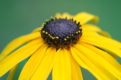 Black-eyed Susan by _Robert C_