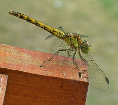 Felszllsra kszldve / About to fly away (ssshiny) Tags: insect dragonfly rovar szitakt