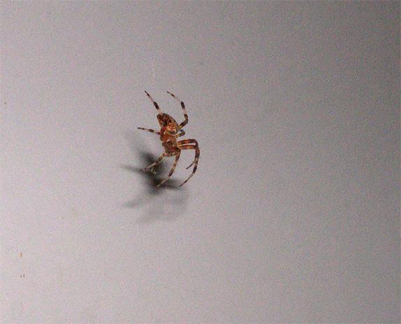 kitchen-spider.jpg