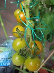 Orange Berry Cherry tomato