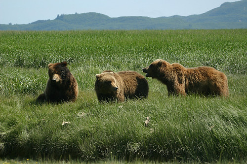 Grizzly gathering