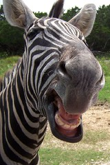 Zebra Showing Teeth 2 (SA_Steve) Tags: texas zebra z1 naturalbridgewildliferanch drivethrusafari captionable