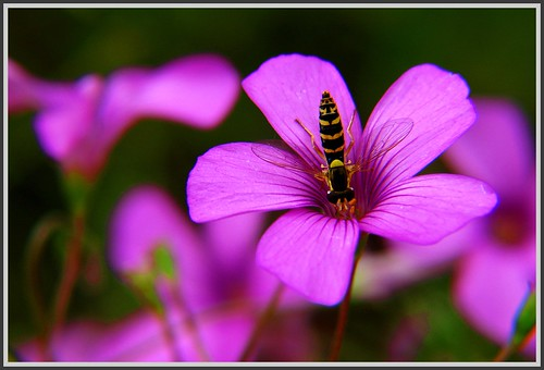 Insect on Pink Flower -- macro insect flower animal bee wales animals flowers closeup bug insects bugs