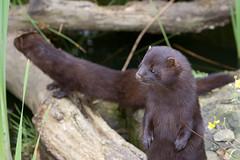 Playful mink