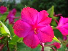 hot pink four o'clock (lake.sider) Tags: pink sunset sun hot flower macro peru southamerica nature fleur four dof native depthoffield settingsun dazzling oclock truecolor naturesfinest marvelofperu fouroclock mirabilisjalapa fantasticflower superbmasterpiece naturewatcher macromix passionatelypinkforthecure