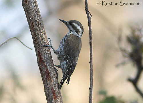 Brown-backed Woodpecker (Picoides obsoletus) by macronyx.