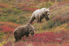 Denali Bear (Tolklat#2) (bud_marschner) Tags: alaska bravo grizzly denali soe naturesfinest supershot specanimal animalkingdomelite abigfave