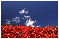 langsam wird es herbst... (G.Hotz Photography (busy as a bee =)) Tags: sky rot austria herbst natur himmel wolken bregenz blatt bltter vorarlberg weintrauben specnature abigfave artlibre flickrelite flickrgolfclub ondarena