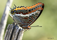 Sitting on the fence (Gypsy Flores Photography) Tags: butterfly insect corse corsica swallowtail papillion korsika poggiodivenaco cortenais gypsyflores specanimal lacorse abigfave lamaquisarde lepachadeuxqueues