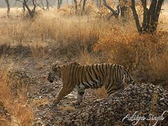 Ranthambhore tiger in winters 2 (dickysingh) Tags: wild india nature outdoor wildlife tiger bigcat aditya predator ranthambore singh bengaltiger ranthambhore dicky ranthambhorebagh adityasingh dickysingh ranthamborebagh theranthambhorebagh wwwranthambhorecom