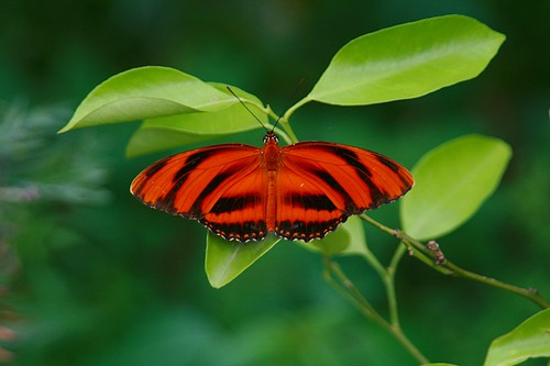 Butterfly (Farfalla)