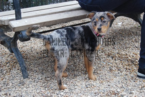... australian shepherd + australian blue heeler cattle dog mix breed