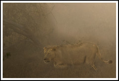 play misty for me... (A.M.G.1 - cruising) Tags: africa andy nature southafrica african wildlife lion lioness bigcats big5 goodman andygoodman amg1 wildlifesouthafrica amgoodman flickrbigcats