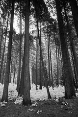 Yosemite Forest (B&W)