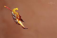 ABBRACCIO AUTUNNALE (Siprico - Silvano) Tags: canon natura macros autunno autmn macrofotografia cernuscosulnaviglio macrofografia buzznbugz siprico fotografianaturalistica soloreflex pricoco silvanopricoco wwwpricocoorg httpwwwpricocoorg wwwfotografiamacrocom
