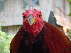 Eye-2-Eye (tjidd) Tags: red pet game sexy bird chicken eyes fighter philippines feathers cock redhead warrior rooster guapo derby cockfight manok pangasinan gamecock bantam sabong aguila fightingcock cockfighting ulam sison featherweight
