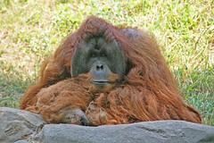 IMG_2104a Zoo Atlanta (pkphotography) Tags: atlanta animals canon ga georgia paul eos atl wildlife orangutan animalplanet zooatlanta atlantazoo krugman paulkrugman xti animaladdiction animalkingdomelite