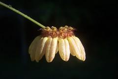 Bulbophyllum auratum (dwittkower) Tags: orchid flower macro flora orchids orchidaceae species orquideas flowercloseup orchidée bulbophyllum bulbo cirr cirrhopetalum flowermacro macroflower orchidcloseup macroorchid orqudea