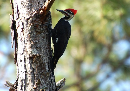 Pileated woodpecker (Photo by dobak)