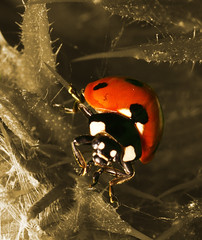 """7 Spot Ladybird (Coccinella 7-punctata) • <a style=""""font-size:0.8em;"""" href=""""http://www.flickr.com/photos/57024565@N00/726102418/"""" target=""""_blank"""">View on Flickr</a>"""