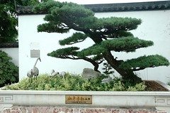 DSC_3434 (doviende) Tags: china shanghai bonsai   botanicalgarden  penjing