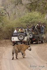 Not bothered (dickysingh) Tags: wild india nature outdoor wildlife tiger aditya ranthambore singh bengaltiger ranthambhore dicky tigerreserve ranthambhorebagh adityasingh dickysingh ranthamborebagh theranthambhorebagh wwwranthambhorecom