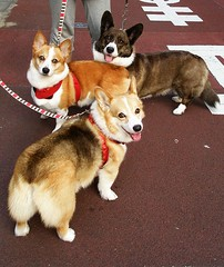 Happy furry Friday! (Corgi group)