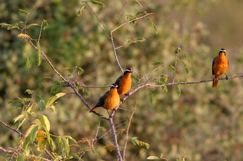 White-browed Robin-chats
