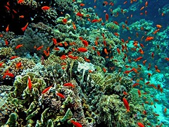 red fish in Red Sea (Z Eduardo...) Tags: red fish underwater redsea egypt swarm sinai coralreef naturesfinest pseudanthiassquamipinnis abigfave superaplus aplusphoto superhearts lyretailanthias thatsclassy