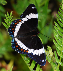 White Admiral Butterfly - by BugMan50