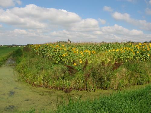 Zonnebloemen in het Friese land