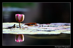 Lone Frogless Lily Pad (peasap) Tags: california ca pink summer flower reflection green water paul photography pond lily sandiego ripple pad balboapark naturesfinest supershot anawesomeshot superbmasterpiece wowiekazowie diamondclassphotographer flickrdiamond frhwofavs excellentphotographerawards youvegottheeye sapiano