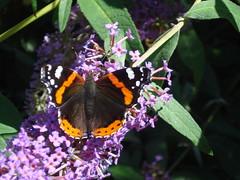 Red Admiral Butterfly (Vanessa Atalanta) (AlmazUK) Tags: vanessa urban london nature butterfly geotagged buddleia sony cybershot ham east redadmiral dsc atalanta nymphalidae vanessaatalanta papilionoidea nymphalinae redadmiralbutterfly w55 sonycybershotdscw55 londonlepidopterapool