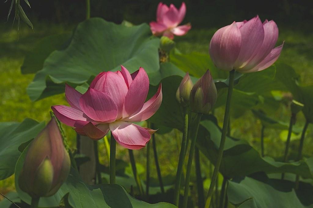 lotus 3 ©2007 RosebudPenfold