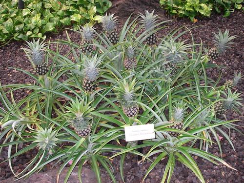 Pineapple Plant at Maui Kaanapali Hyatt