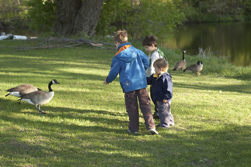 457:1000 Feeding the geese