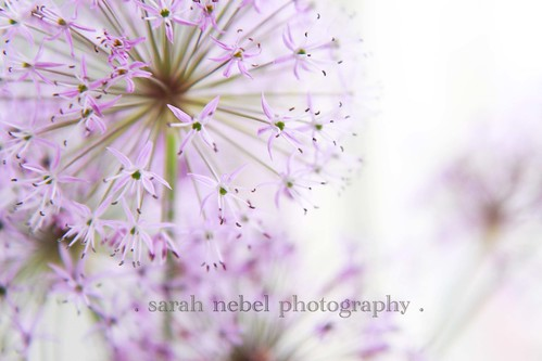 . purple allium .