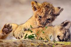 [フリー画像] 動物, 哺乳類, ネコ科, ライオン, 201010281100